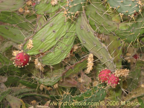 Descripci n e im genes de cactaceae sp 1788 cactus for Semillas de cactus chile