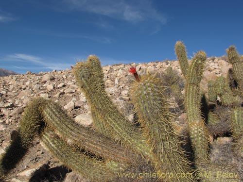 Descripci n e im genes de oreocereus leucotrichus viejito for Semillas de cactus chile