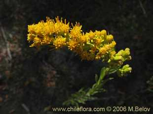 Photograph of Solidago chilensis