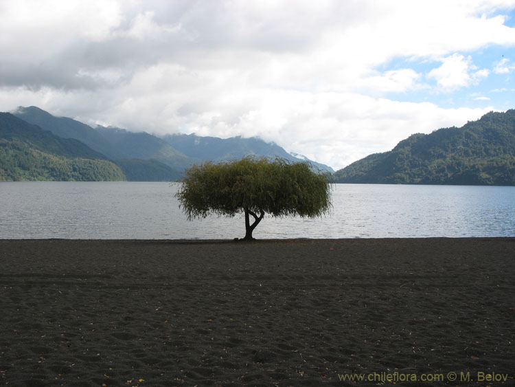 Image of a solitary tree on the shore of Calafquen lake.