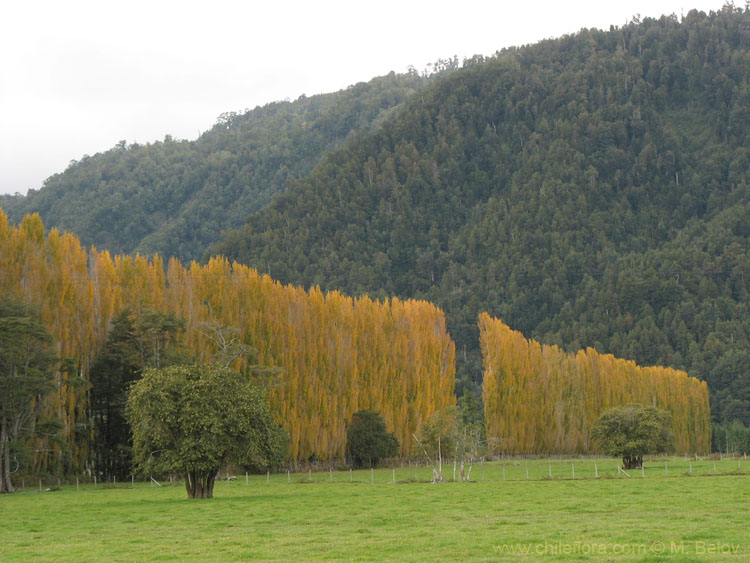 Image of a row of trees with yellow autumn leaves in a field and mountain in the rear.