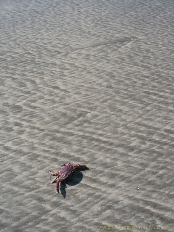 Crab:Some areas in Chile have tropical-looking beaches, but the water is hardly over 20º C.