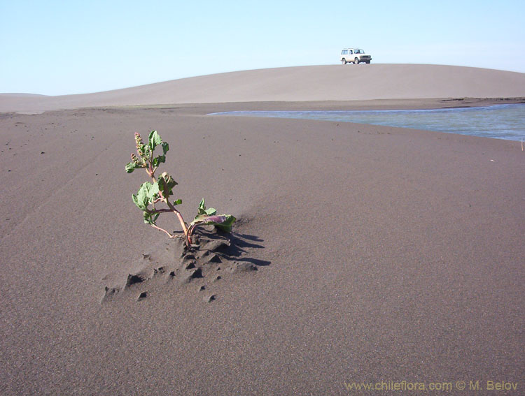 An image of young plant growing out of sand, at Putu dunes, Chile.