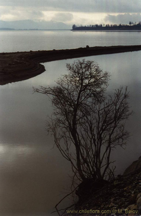 Image of a tree standing on the shore of Colbun lake.