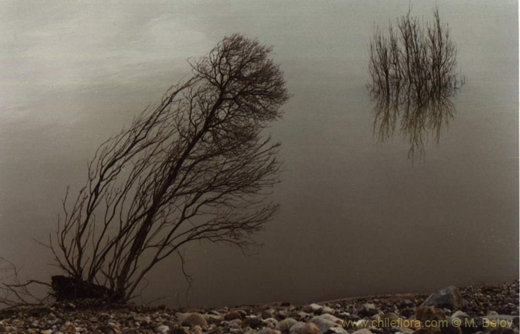 Image of two trees on the bank of Colbun Lake.