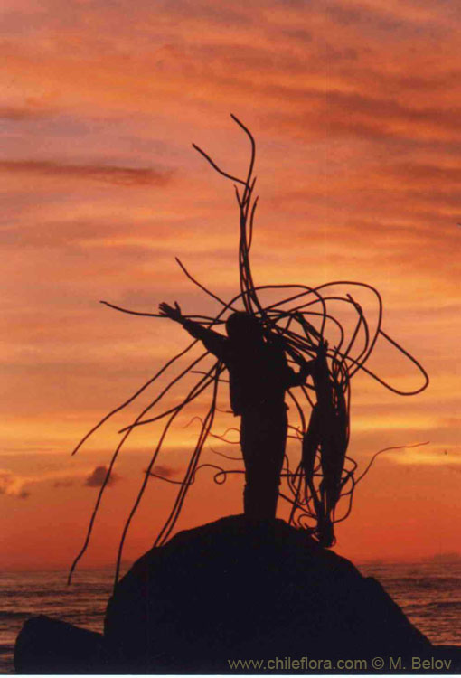 An image of a woman who is standing on a stone, waving, and holding a big dried peace of cochayuyo, local seaweed, at sunset, near Navidad, Chile.
